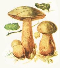 Трубчатые грибы поддубник или